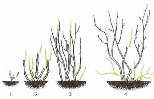 как посадить озимый чеснок целыми головками